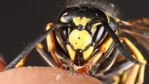 Vespula Rufa wallpapers high quality