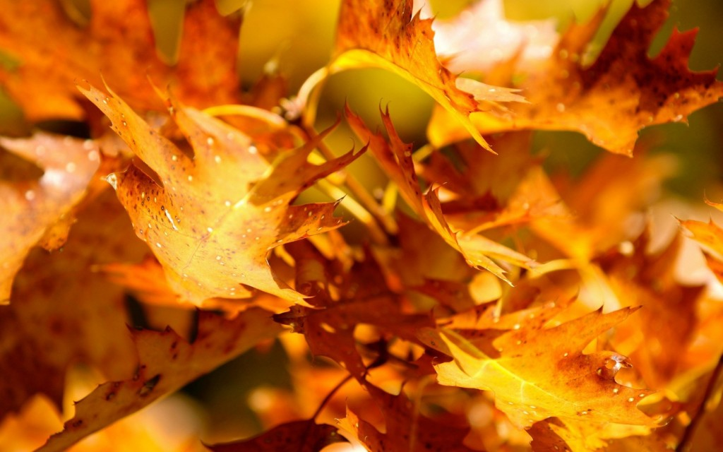 Yellow Leaves wallpapers HD