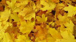 Yellow Leaves Photo