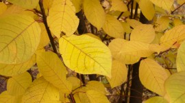 Yellow Leaves Photo#1