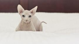 4K Kittens Sphynx Photo