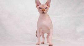 4K Kittens Sphynx Wallpaper