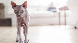 4K Kittens Sphynx Wallpaper Gallery