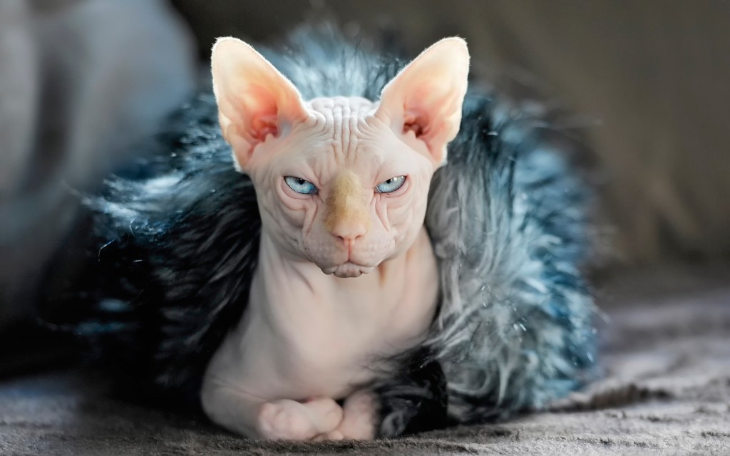 4K Kittens Sphynx wallpapers HD