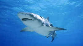 4K Shark Photo Free#1