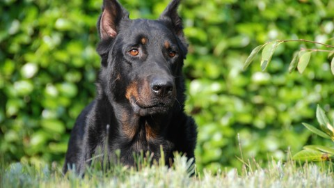 Beauceron wallpapers high quality