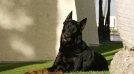 Beauceron Photo Download