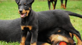 Beauceron Photo Download#1