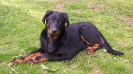Beauceron Wallpaper Gallery