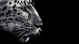Black And White Animals Photo Free#1