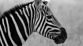 Black And White Animals Photo#2