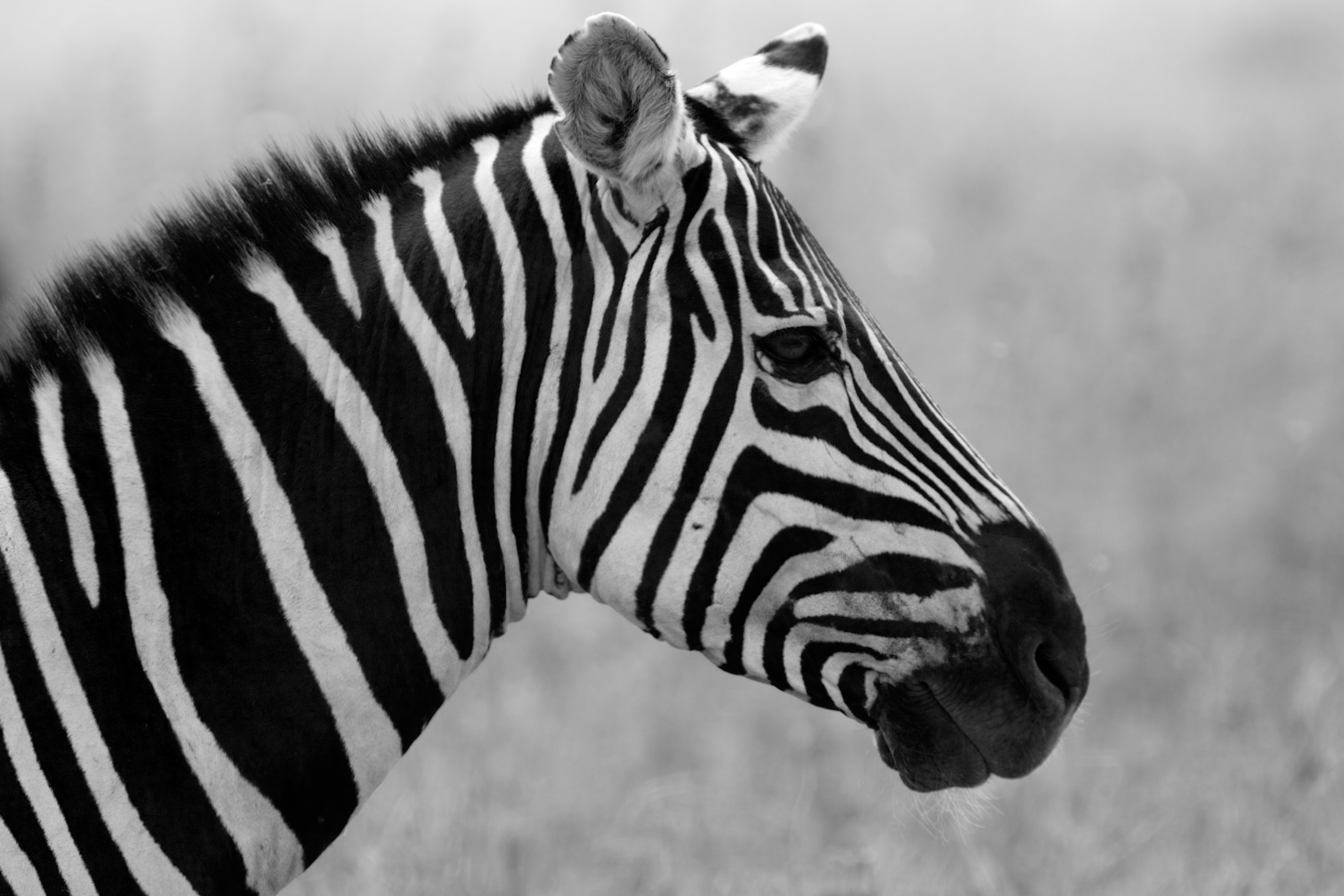 Black And White Animals Wallpapers High Quality Download