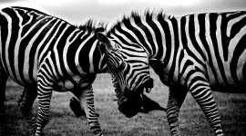 Black And White Animals Wallpaper