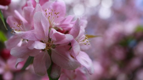 Blooming Apple Trees wallpapers high quality