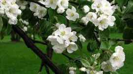 Blooming Apple Trees Desktop Wallpaper