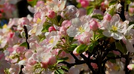 Blooming Apple Trees Photo Download