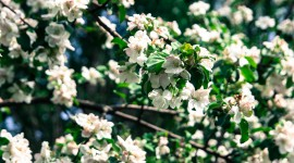 Blooming Apple Trees Photo Free#1