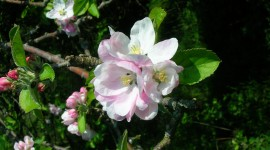 Blooming Apple Trees Photo Free#3
