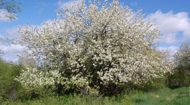 Blooming Apple Trees Photo#1