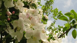 Blooming Apple Trees Photo#2