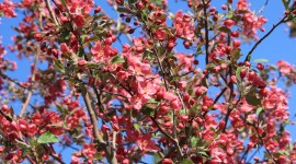 Blooming Apple Trees Photo#3