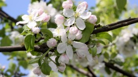 Blooming Apple Trees Wallpaper Download