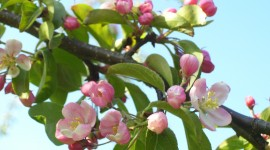 Blooming Apple Trees Wallpaper Free