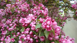Blooming Apple Trees Wallpaper Gallery