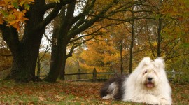 Bobtail Dog Desktop Wallpaper HD