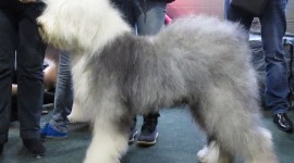 Bobtail Dog Photo