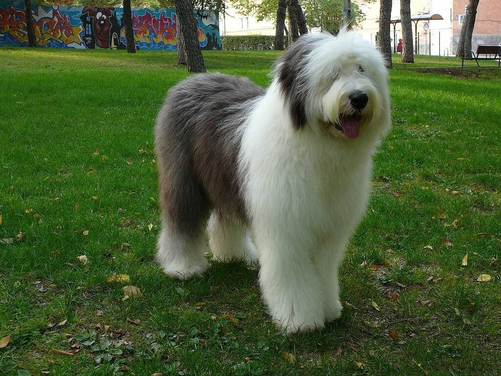 Bobtail Dog wallpapers HD