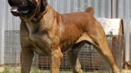 Boerboel Best Wallpaper