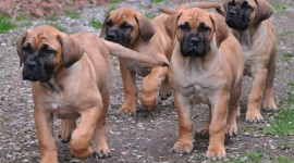 Boerboel Desktop Wallpaper