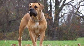 Boerboel Photo Download