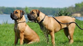 Boerboel Wallpaper 1080p