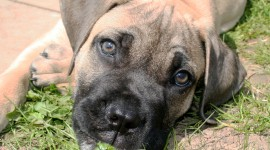 Boerboel Wallpaper Download