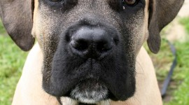Boerboel Wallpaper For Android