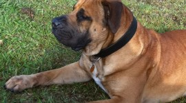 Boerboel Wallpaper For IPhone