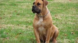 Boerboel Wallpaper Free