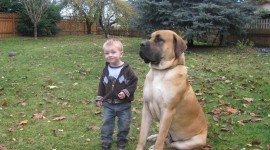 Boerboel Wallpaper Full HD