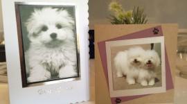 Bolognese Dog Image