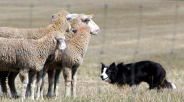 Border Collie Dogs images