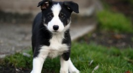 Border Collie Photo Free