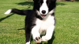 Border Collie Photo Free#1
