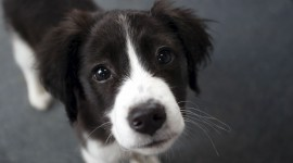 Border Collie Photo#1
