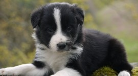 Border Collie Wallpaper Free