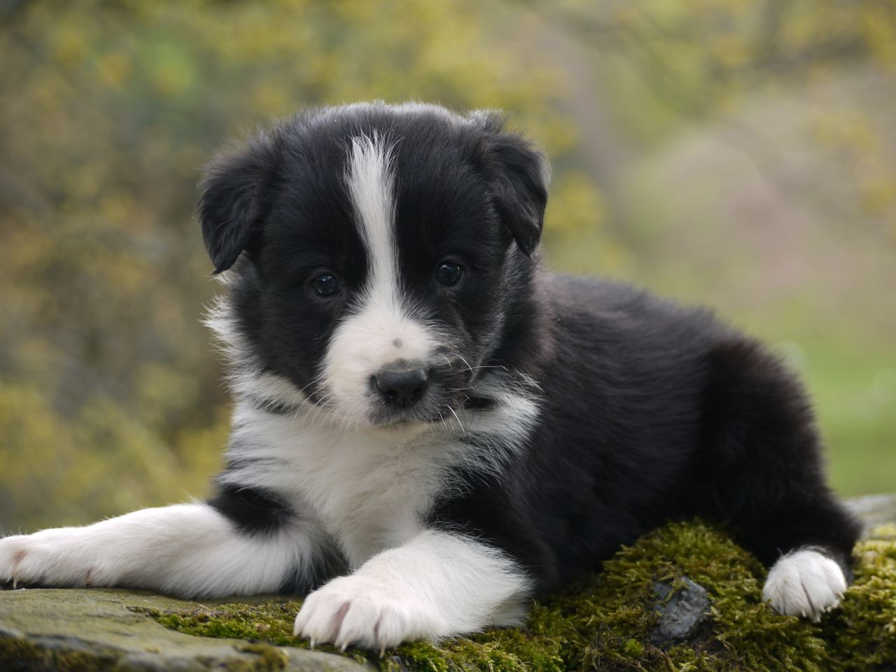 border collie wallpapers high quality download free