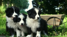 Border Collie Wallpaper HQ#2