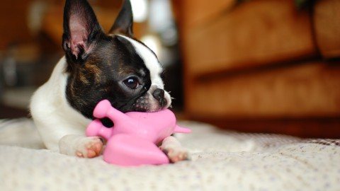 Boston Terrier wallpapers high quality