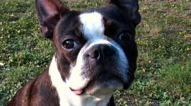 Boston Terrier Desktop Wallpaper